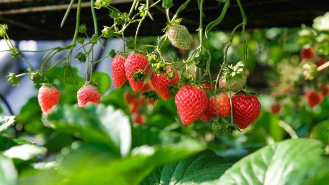 strawberry-samune