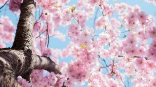 sakura-samune